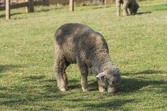 поле пася зеленых овец Стоковое Изображение
