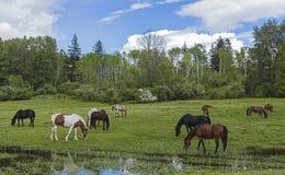 поле пася лошадей стоковые фотографии rf