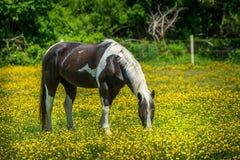 поле пася лошадь Стоковое Изображение