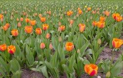 Поле померанцовых тюльпанов Стоковые Изображения RF