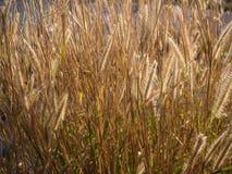 Поле природы мягкого Pennisetum пера травы полета в backg Стоковая Фотография