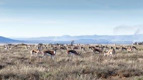 Поле прыгунов пася в национальном парке зебры горы Стоковое Изображение RF