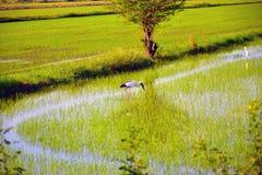 Поле птицы и риса Стоковая Фотография