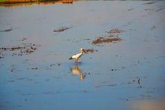 Поле птицы и риса Стоковое фото RF