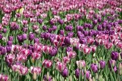 Поле пурпуровых тюльпанов Стоковые Фотографии RF