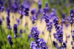 Поле пчелы и лаванды Стоковые Изображения RF