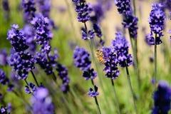 Поле пчелы и лаванды Стоковое Изображение RF