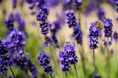 Поле пчелы и лаванды Стоковые Изображения