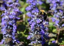 Поле пчелы опыляя ajuga - зеленых глаз Стоковые Фотографии RF