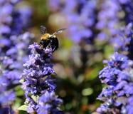 Поле пчелы опыляя ajuga Стоковые Фото