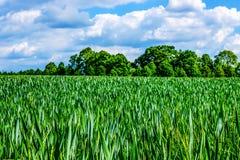 Поле пшеницы весной Стоковое Фото
