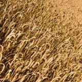 Космос текста предпосылки пшеницы Стоковое Изображение RF