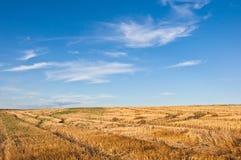Поле пшеницы в Украине стоковые фотографии rf