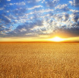 Поле пшеницы, красивый заход солнца, облака Стоковая Фотография