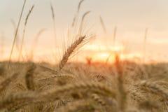 Поле пшеницы на заходе солнца Сельское хозяйство Стоковые Фотографии RF
