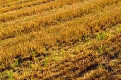 Поле пшеницы после хлебоуборки Стоковые Фото