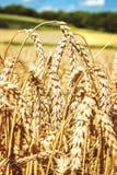 Поле пшеницы с голубым небом Стоковое Фото