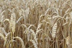 Поле пшеницы с ушами пшеницы Стоковые Изображения RF