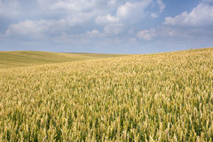 Поле пшеницы Стоковые Изображения