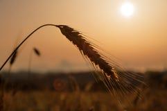 Поле пшеницы. Стоковые Фотографии RF