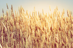 Поле пшеницы Стоковое Фото