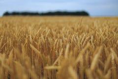Поле пшеницы Стоковые Фотографии RF