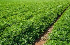 Поле плантации арахиса Стоковое Изображение RF