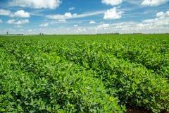 Поле плантации арахиса Стоковое Изображение
