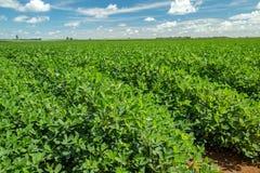 Поле плантации арахиса Стоковые Фотографии RF