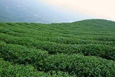 Поле плантации зеленого чая на горе Стоковое Изображение RF