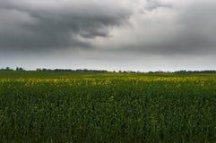 Поле рапса в пасмурной погоде Стоковые Изображения RF