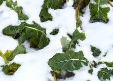 Поле рапса зимы стоковые изображения