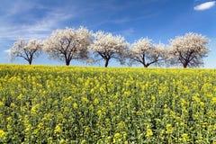 Поле рапса и переулка вишневого дерева Стоковая Фотография RF