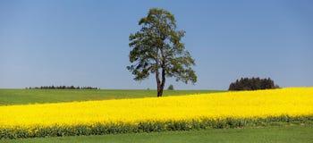 Поле рапса, канола или сурепки и дерева Стоковая Фотография RF