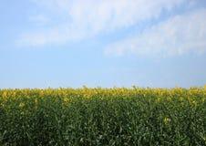 Поле рапса на весеннем времени с голубым небом Стоковые Изображения RF
