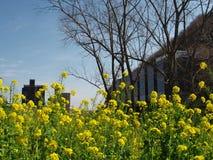 Поле рапса семени масличной культуры около потока Стоковая Фотография RF