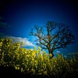 Поле рапса с пределом Джулиана дерева Стоковое Изображение