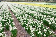 Поле растущих белых narcissus или daffodils на ферме Стоковая Фотография RF