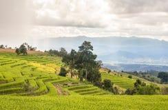 Поле риса ландшафта Стоковые Изображения