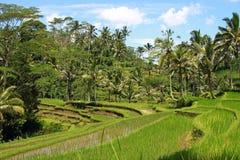 Поле риса, Бали, Индонезия Стоковое Фото