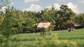 Поле риса Бали, который граничат домами и деревьями сток-видео