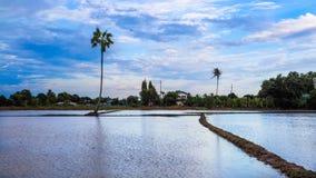 Поле риса вполне с водой на небе захода солнца голубом Стоковые Фото