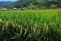 Поле риса Вьетнама Стоковые Изображения RF