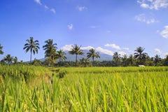 Поле риса в Индонезии Стоковая Фотография RF