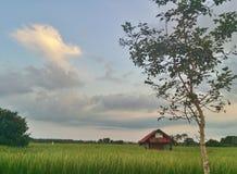Поле риса в пригородном районе Стоковые Фото