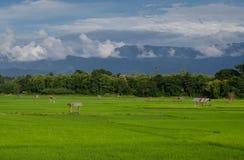 Поле риса в провинции Nan, Таиланде Стоковое Фото