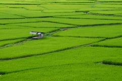 Поле риса в провинции Nan, Таиланде Стоковое Изображение RF