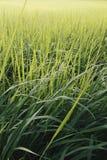 Поле риса в солнечном свете Стоковая Фотография RF