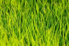 Поле риса в Таиланде Стоковая Фотография