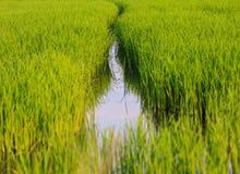 Поле риса в Таиланде Стоковые Изображения
